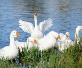 Swim the goose Stock Photo