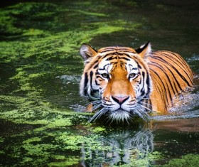 Swimming tiger Stock Photo