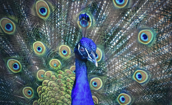 The peacock spreads its tail feathers Stock Photo