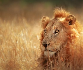 The public lion in the grass HD picture