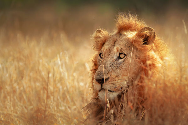 the public lion in the grass hd picture free download