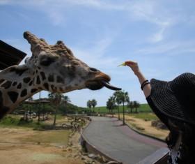 Visitors feed giraffes Stock Photo