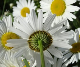 White chamomile Stock Photo 01