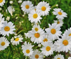 White chamomile Stock Photo 02