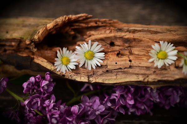 White chamomile on the wood Stock Photo