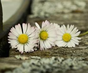 White chrysanthemum on the board Stock Photo 02