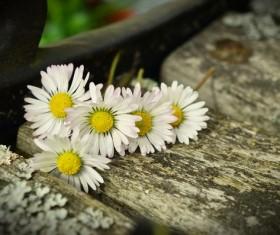 White chrysanthemum on the board Stock Photo 03