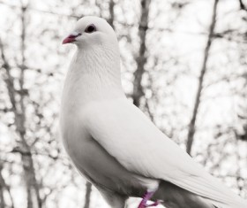 White pigeons Stock Photo 02