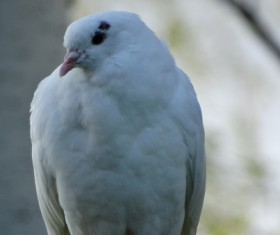 White pigeons Stock Photo 03