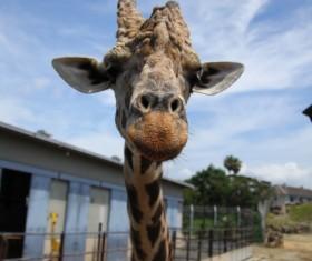 Zoo giraffe Stock Photo