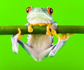 frog hanging on a branch Stock Photo