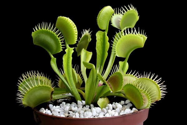 predaceous plants Stock Photo 10