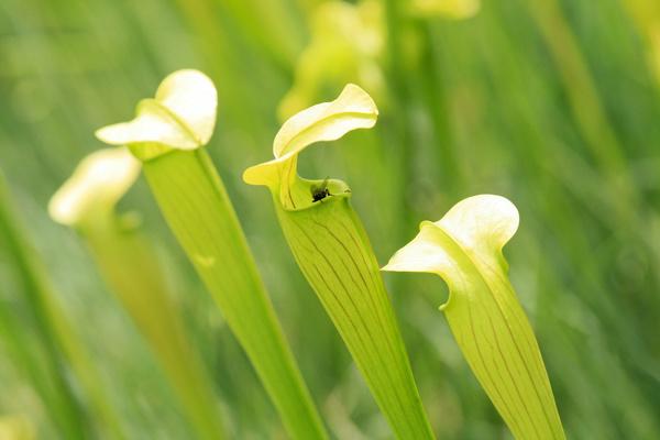 predaceous plants Stock Photo 13