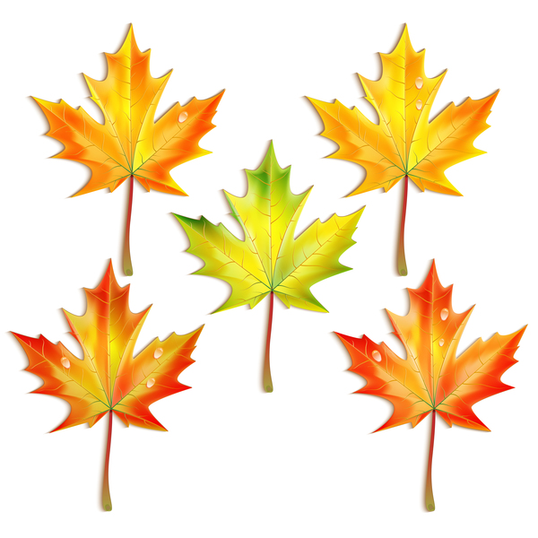 5 Kind maple leaves vector illustration