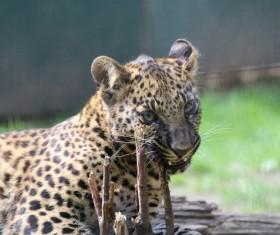 African animal leopard Stock Photo