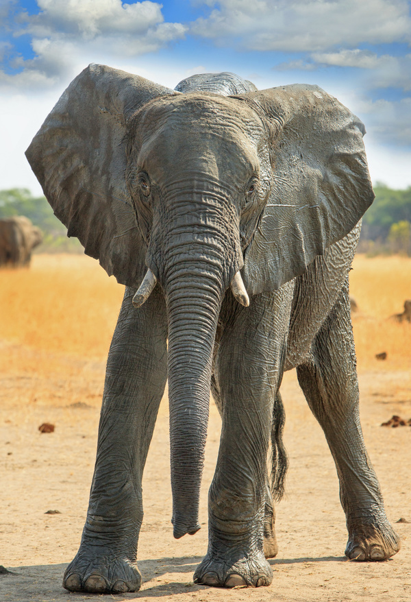 African Elephant Stock Photo Free Download
