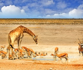 African savannah wildlife drink water Stock Photo