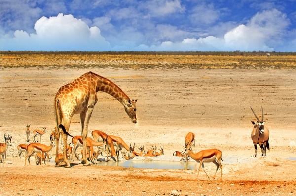 African savannah wildlife drink water Stock Photo