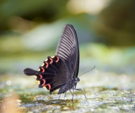 Beautiful black butterfly Stock Photo