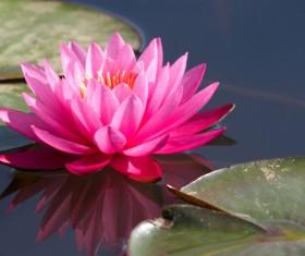 Beautiful red lotus Stock Photo