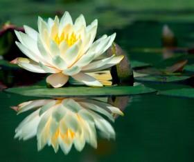 Beautiful white lotus Stock Photo