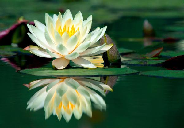 Beautiful white lotus Stock Photo free download