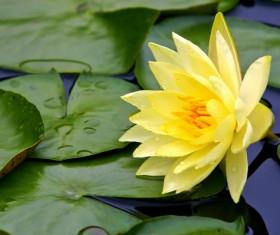 Beautiful yellow lotus Stock Photo