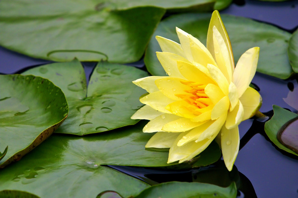 Beautiful Yellow Lotus Stock Photo Free Download