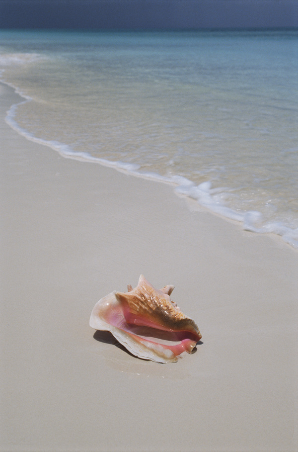 Been washed ashore sea conch Stock Photo