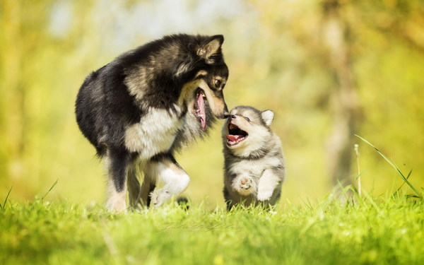 Cute husky mother and son Stock Photo