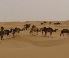 Desert Wild Camel Stock Photo