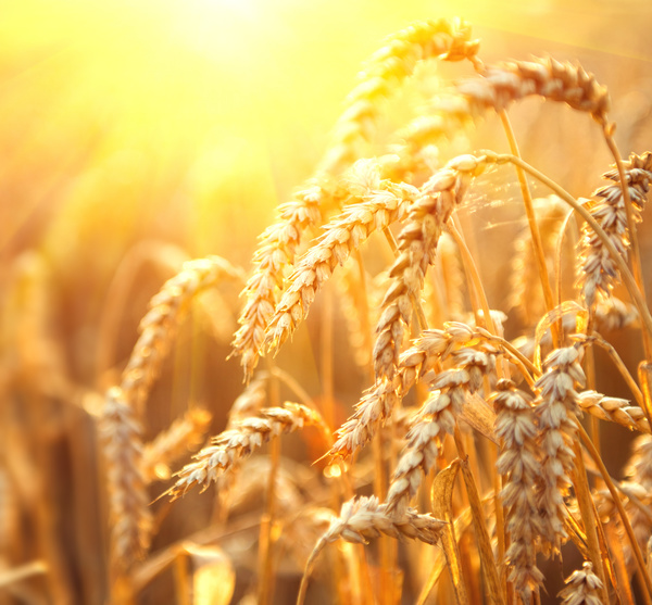 Golden ripe wheat in the sun Stock Photo 01