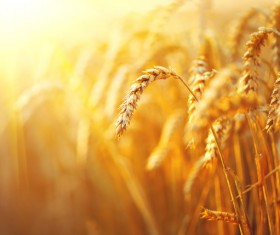 Golden ripe wheat in the sun Stock Photo 02