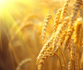 Golden ripe wheat in the sun Stock Photo 03