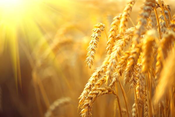 Golden ripe wheat in the sun Stock Photo 03