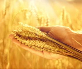 Golden ripe wheat in the sun Stock Photo 04