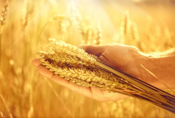 Golden ripe wheat in the sun Stock Photo 04