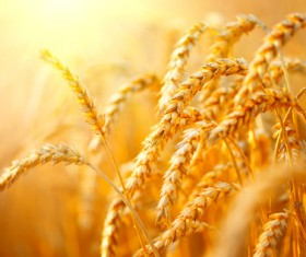 Golden ripe wheat in the sun Stock Photo 05