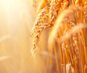 Golden ripe wheat in the sun Stock Photo 06