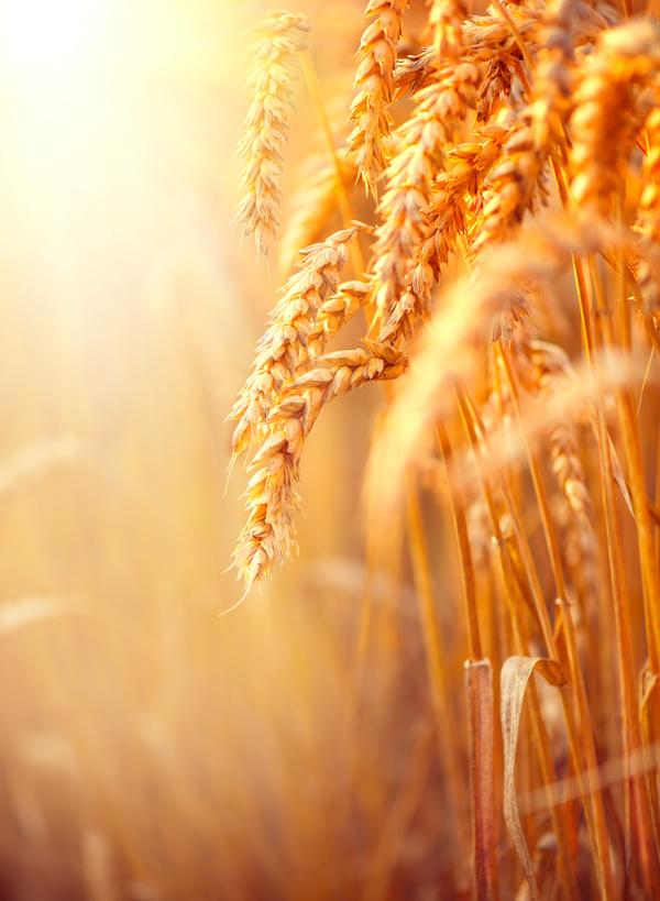Golden ripe wheat in the sun Stock Photo 06