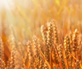 Golden ripe wheat in the sun Stock Photo 07