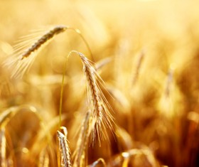 Golden ripe wheat in the sun Stock Photo 08