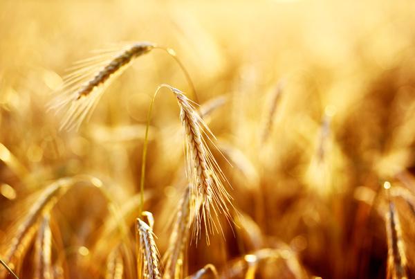 Golden ripe wheat in the sun Stock Photo 08