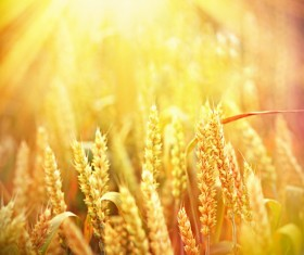 Golden ripe wheat in the sun Stock Photo 09