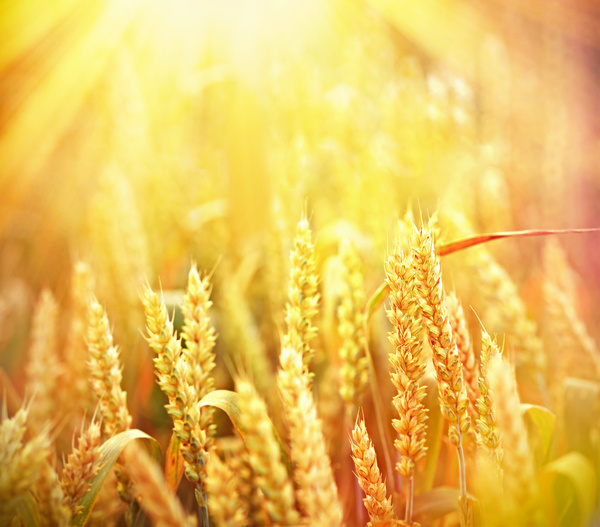 Golden ripe wheat in the sun Stock Photo 09