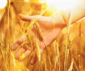 Golden ripe wheat in the sun Stock Photo 10