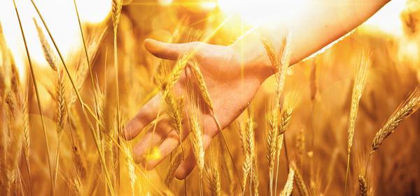Golden ripe wheat in the sun Stock Photo 10