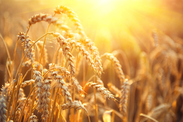 Golden ripe wheat in the sun Stock Photo 11