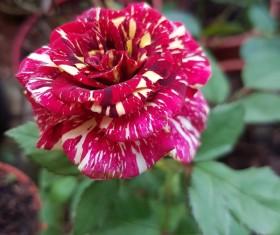 Gorgeous roses Stock Photo