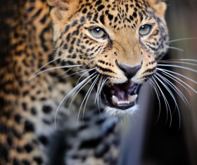 Growled the leopard Stock Photo